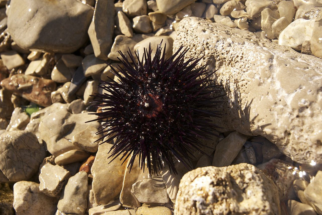 morský ježko
